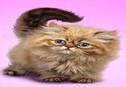 Pelucheux chat fond d'écran Internet