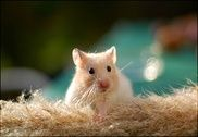 Cute Hamster Wallpapers Maison et Loisirs