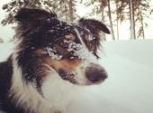 Chien avec neige sur le museau Photos