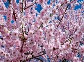 Cerisier japonais en fleur Photos
