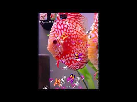 3D Discus Aquarium Live Wallpapers