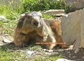 Rochers de Naye Marmotte (33940) Photos