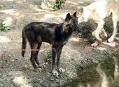 Basel Zoo Loup (44738) Photos
