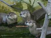 Basel Zoo Loutres (44600) Photos