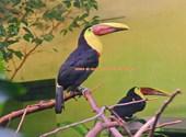 Basel Zoo Toucan (35340) Photos