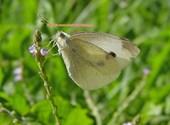 Papillon (04878) Photos