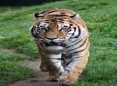 Zoo Servion Tigre de Sibérie (34980) Photos