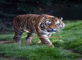 Zoo Servion Tigre de Sibérie (34979) Photos