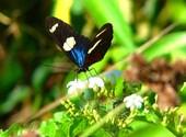 Papillon amazonien Photos