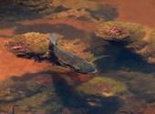 Poisson du Fleuve Sinnamary Photos
