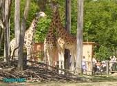 girafes Photos