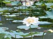 La fleur de Lotus Photos