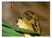 Papillon machaon Photos