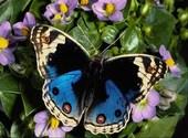 Papillon Photos