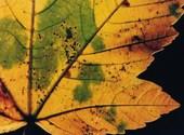 érable d'automne Fonds d'écran
