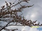 Cerisier Photos
