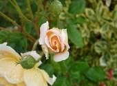 Rose Photos