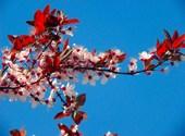 Cerisier du japon Fonds d'écran