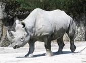 Rhinocéros blanc Photos