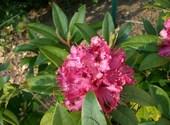 Rhododendron Photos