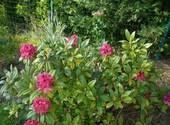 Rhododendron 2 Photos