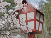 Cerisier en fleur Photos