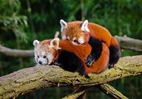 Accouplement Pandas Roux Photos